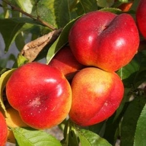 nan-and-pops-nectarines