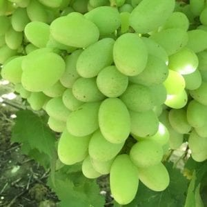 nan-and-pops-grapes